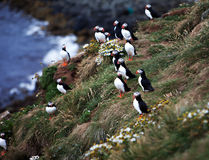 Puffins on Icelandic Cliff Royalty Free Stock Photo