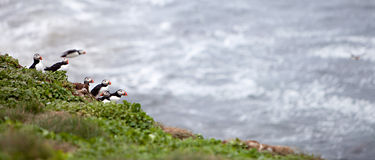 Puffins on Icelandic Cliff Stock Images