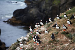 Puffins on Icelandic Cliff Royalty Free Stock Images