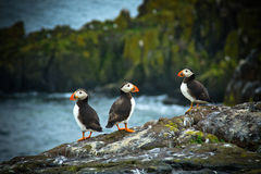 Puffins on Isle of May. Three Puffins in the rain on the Isle of May, Scotland royalty free stock photos