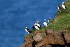 Puffins in Latrabjarg cliffs in iceland. With the sea in the background Royalty Free Stock Photos