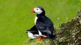 Puffins in love Stock Photos