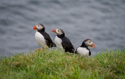Puffins. (Lundas) at The Atlantic Iceland Royalty Free Stock Images