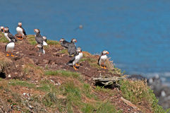 Puffins on a Nesting Island Royalty Free Stock Photos