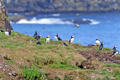 Puffins on a a nesting island in summer Royalty Free Stock Photo