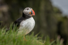 Puffins nesting at latrabjarg cliff Iceland Royalty Free Stock Photos