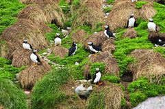 Puffins nesting in Newfoundland. Puffin birds nesting on island in Newfoundland, Canada Stock Photo