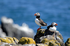 Puffins On Isle Of May Royalty Free Stock Photography