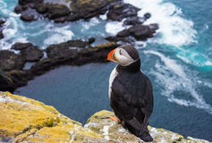 Puffins On The Latrabjarg Cliffs, Western Fjords, Iceland Royalty Free Stock Photos