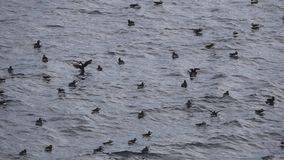 Puffins over the water flapping wings in slow-mo