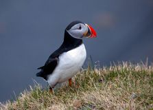 Puffins on overgrown rocky outcrop royalty free stock image