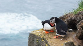 Puffins playing on the rock cliff stock footage