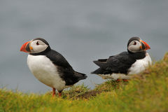 Puffins in the rain Royalty Free Stock Photography