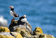 Puffins resting on rocks Stock Image