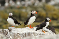 Puffins on a rock Stock Photos