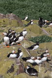 Puffins Rock. Taken in Northumberland, England on the Farne Islands during July Stock Photos