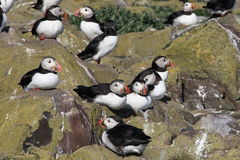Puffins Rock. Taken in Northumberland, England on the Farne Islands during July Stock Photo