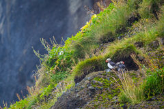 Puffins Stock Image