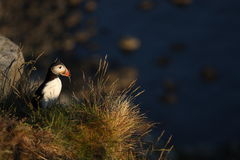 Puffins runde Royalty Free Stock Image