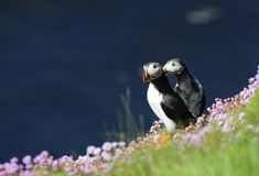 Puffins. On sea cliff surrounded by sea-pinks, Sumburgh Head, Shetland Isles, Scotland Stock Photo