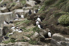 Puffins Royalty Free Stock Image