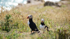 Puffins on Skomer island Royalty Free Stock Photos