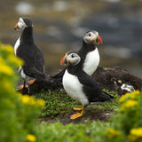 Puffins Stock Photos