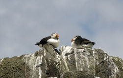 Puffins on top of cliff Stock Photos