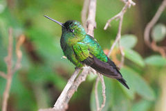 青玉被放气的Puffleg,蜂鸟在厄瓜多尔 免版税库存照片