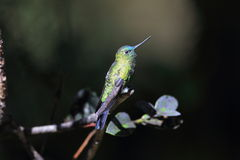 Puffleg Saphir-exhalé photos libres de droits