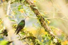 Puffleg verd?tre se reposant sur la branche, colibri de for?t tropicale, Colombie, oiseau ?tant perch?, oiseau minuscule se repos photo stock