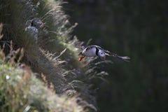 Puffn-Fliegen Stockbild