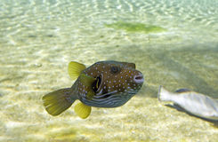 Puffy. Tropical Toadfish swimming in open water Royalty Free Stock Photos