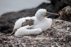Puffy baby Blue Footed Booby in nature - Galapagos - Ecuador Stock Image