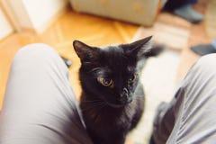 Puffy Black Cat Royalty Free Stock Image