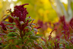 Puffy Burgandy Flowers. With green leaves against a soft focus background Stock Image