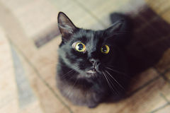 Puffy Cat. Portrait of puffy cat with green eyes Stock Photo