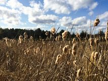 Puffy Cattails and Clouds Royalty Free Stock Image