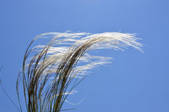 Puffy grass Royalty Free Stock Photography