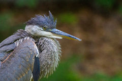 Puffy heron Royalty Free Stock Photography