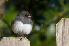 Puffy Junco Perched on a Fencepost Royalty Free Stock Images
