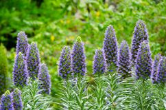 Puffy lavender purple color flowers at a botanic garden in spring season. A Puffy lavender purple color flowers at a botanic garden in spring season royalty free stock images