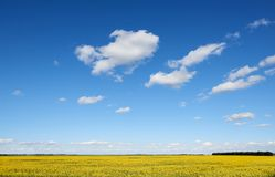 Canola crop field in in spring sunshine under a beautiful spring sky. stock photo