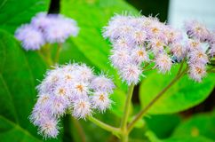 Puffy nature plant purple flower in close-up at a botanical garden in the spring season. A Puffy nature plant purple flower in close-up at a botanical garden in royalty free stock photo