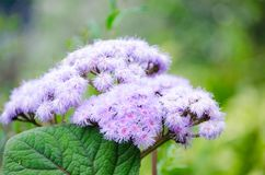 Puffy nature plant purple flower in close-up at a botanical garden in the spring season. A Puffy nature plant purple flower in close-up at a botanical garden in stock image