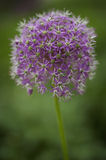 Puffy purple flower. Royalty Free Stock Photography