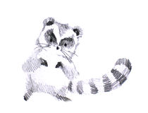 Puffy cute raccoon pencil drawing Royalty Free Stock Photo