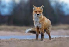 Puffy Red Fox posing on sand road anf looks at the viewer in turbulent and rough weather. Windy Red Fox stands on field road anf looks at the camera in stormy stock photo