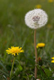 Puffy soft white seeded dandelion. stock photography
