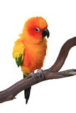 Puffy Sun Conure Parrot Bird Stock Photo